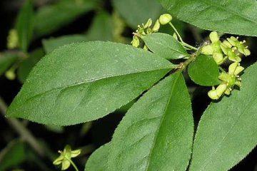 Euonymus Alatus (Evonimo)