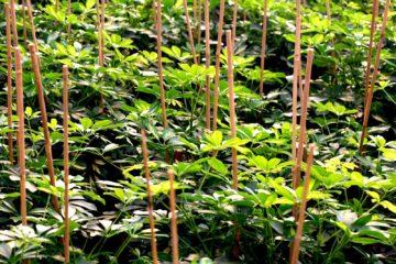 Schefflera Gold Capella