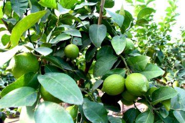 Citrus Limon (Limone)